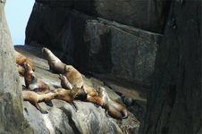 Steller S Sea Lion (harem)