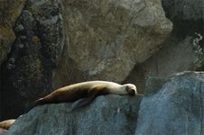 Free Sleep Steller S Sea Lion Stock Photos - 958533