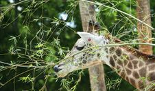 Free Giraffe Having Snack Stock Photos - 958693