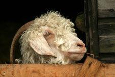 Free Smoking Goat Royalty Free Stock Photos - 958798