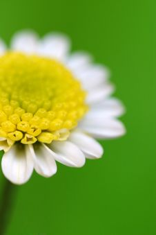 Free White Daisy Stock Photography - 959042