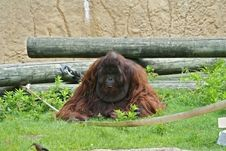 Male Orangutan Royalty Free Stock Photo