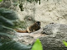 Free Ring-tailed Lemur Stock Image - 959741