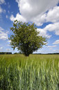 Free Tree In Corn Field Royalty Free Stock Images - 9500559