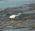 Free Hunter. Great White Egret Stock Photography - 9500642