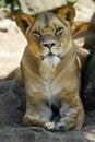 Free Female Lion Stock Photo - 9509940