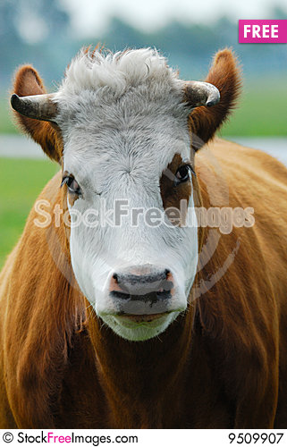 Funny Cow - Free Stock Photos & Images - 9509907 ...
