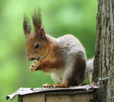 Free Squirrel Stock Photo - 9500230