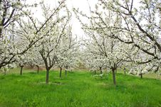 Free Apple Orchard Royalty Free Stock Image - 9500436