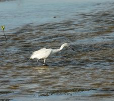 Free Hunter. Great White Egret Stock Photography - 9500642
