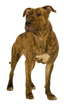 Free Staffordshire Terrier Dog Royalty Free Stock Images - 9500659