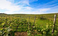 Free German Vineyard Near The Rhein River Stock Image - 9500821