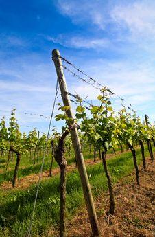 Free German Vineyard Near The Rhein River Stock Photos - 9500893