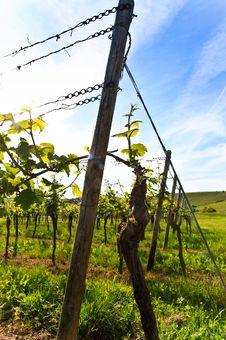 Free German Vineyard Near The Rhein River Royalty Free Stock Photography - 9501217