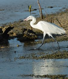 Free Great White Egret Royalty Free Stock Photography - 9501297