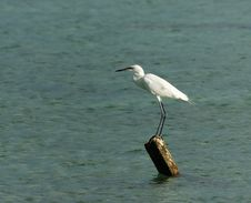 Free White Egret Royalty Free Stock Photography - 9501427
