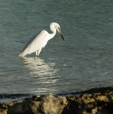Free Great White Egret Stock Images - 9501574