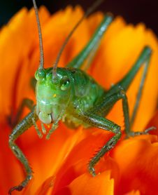 Free Green Grasshopper Royalty Free Stock Images - 9504239
