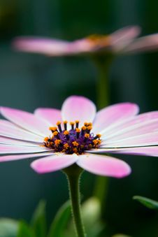 Free Spring Beauty Stock Image - 9505301
