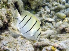 Free Fish: Convict Surgeonfish Stock Photos - 9506143