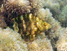 Free Fish: Ballan Wrasse Royalty Free Stock Photo - 9506295