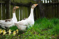 Free Goslings On Grass Stock Photos - 9508913