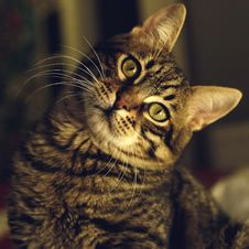 Free Close-up Of Cat Royalty Free Stock Images - 95031389