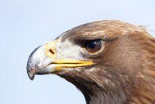 Free Eagle Portrait Stock Photo - 95031580
