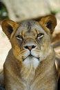 Free Female Lion Stock Images - 9510004