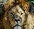 Free Male Lion Royalty Free Stock Photo - 9510025