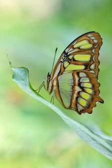Scarce Bamboo Page Butterfly Royalty Free Stock Photography