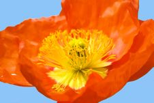 Free Red Poppy Stock Image - 9510641