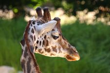 Free Giraffe Royalty Free Stock Images - 9510939