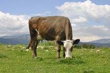 Free Cow Stock Photo - 9511440