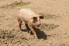 Farm Pig Stock Images