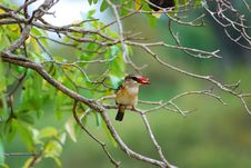 Free Brown-Hooded Kingfisher (Halcyon Albiventris) Stock Photo - 9512830