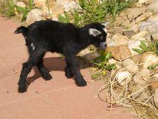 Free Baby Black Pygmy Goat Stock Photography - 9512922