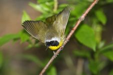 Free Common Yellowthroat (Geothlypis Trichas Trichas) Royalty Free Stock Images - 9513209