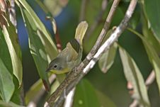 Free Common Yellowthroat (Geothlypis Trichas Trichas) Royalty Free Stock Images - 9513289