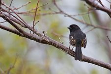 Free Eastern Towhee Stock Photography - 9513332