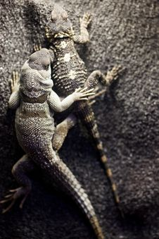 Free Two Lizards Royalty Free Stock Photo - 9513595