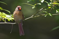 Free Northern Cardinal Stock Photos - 9513653