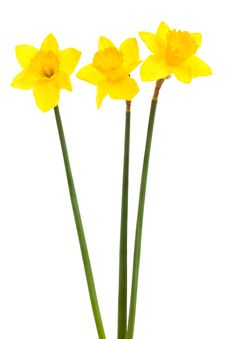 Free Three Yellow Narcissus Royalty Free Stock Image - 9515226