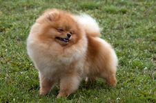 Free A Pomeranian Dog Royalty Free Stock Photos - 9515278