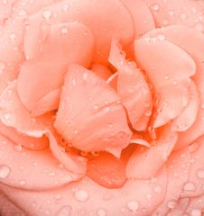 Free Rose And Drops Royalty Free Stock Photo - 9515295