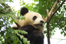 Free Panda In Tree Royalty Free Stock Images - 9515489