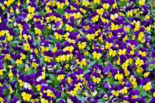 Free Colorful Pansies Stock Photography - 95108762