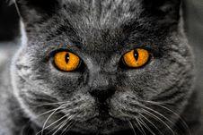 Free British Shorthair Cat Royalty Free Stock Image - 95108976