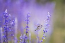Free Brown Gray And White Humming Bird Getting Nectar From Lavender Flower Royalty Free Stock Images - 95165049