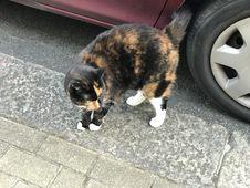 Free Cat, Small To Medium Sized Cats, Cat Like Mammal, Fauna Royalty Free Stock Image - 95165086